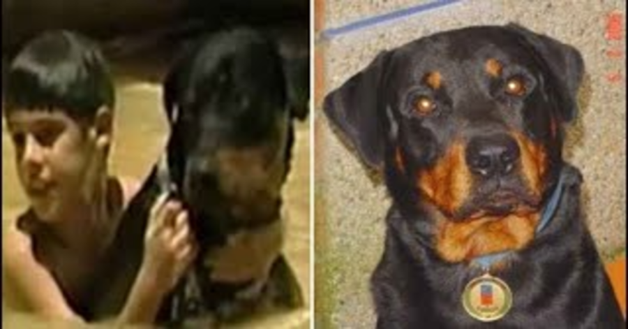 Rottweiler salva bambino