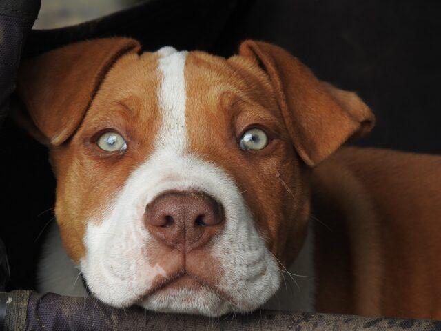 Pitbull marrone occhi verdi
