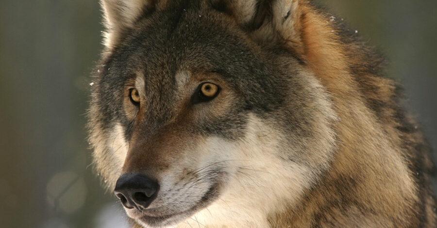Primo piano di un lupo