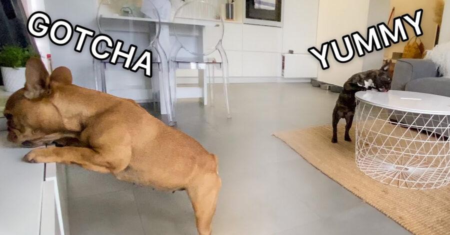 Due Bulldog Francese che cercano qualcosa