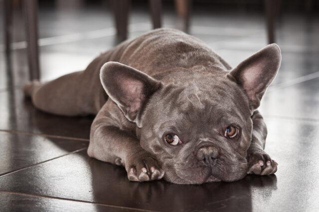 Bulldog Francese che guarda