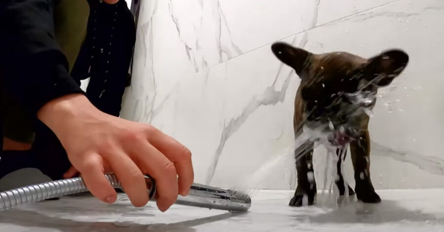Bulldog Francese che si fa il bagnetto