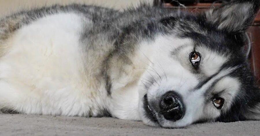 Cane Husky sdraiato per terra