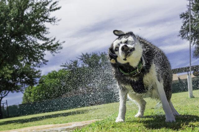 Husky bagnato