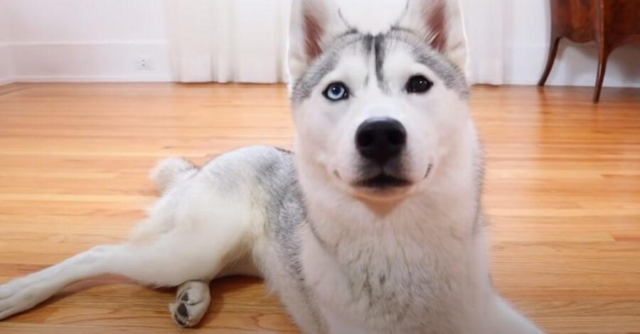Husky sdraiato che osserva