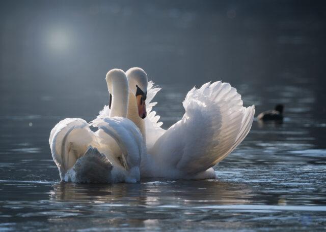 Cigni in acqua