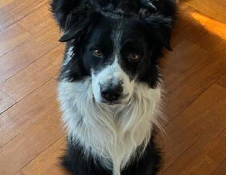 kilian cane border collie bianco nero