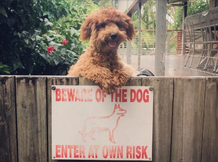 cane barboncino sopra cartello