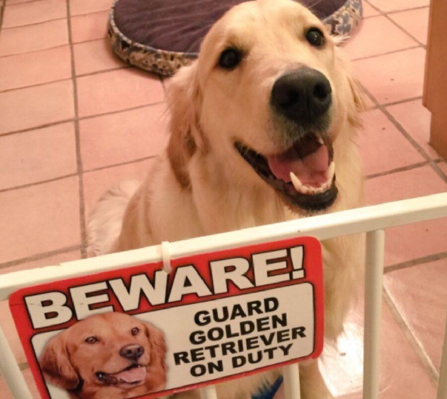 cane golden retriever davanti cartello