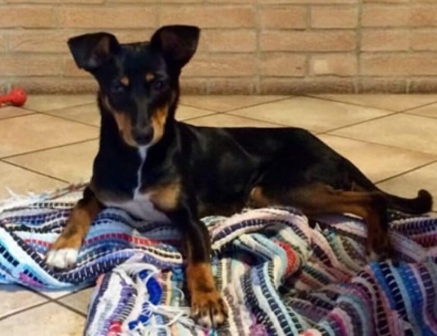 cane nero marrone si trova a casa