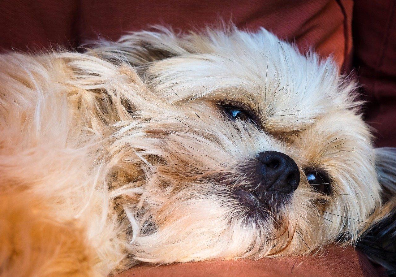 cagnolino si riposa
