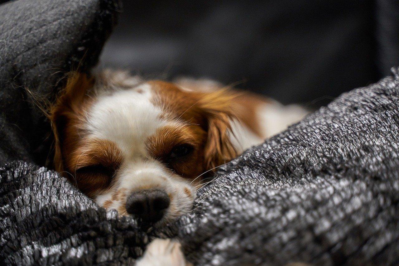 cagnolino ha sonno