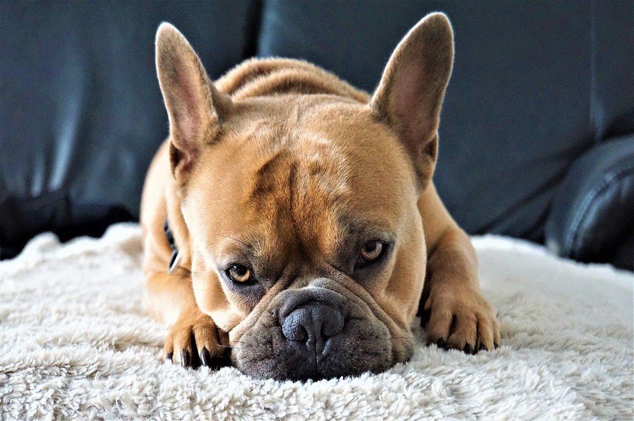 cane occhi tristi