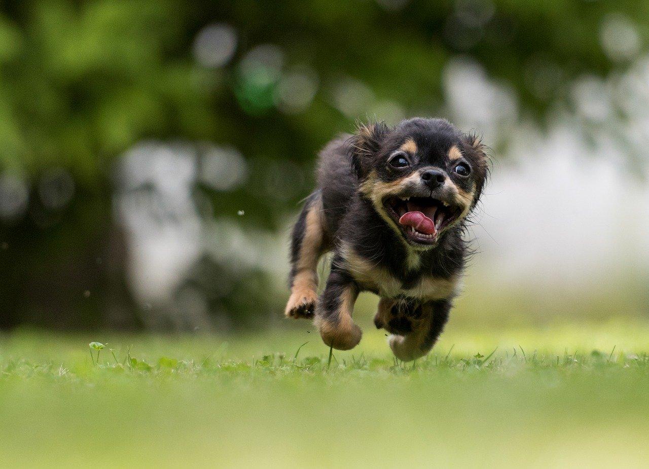 cane corre contento