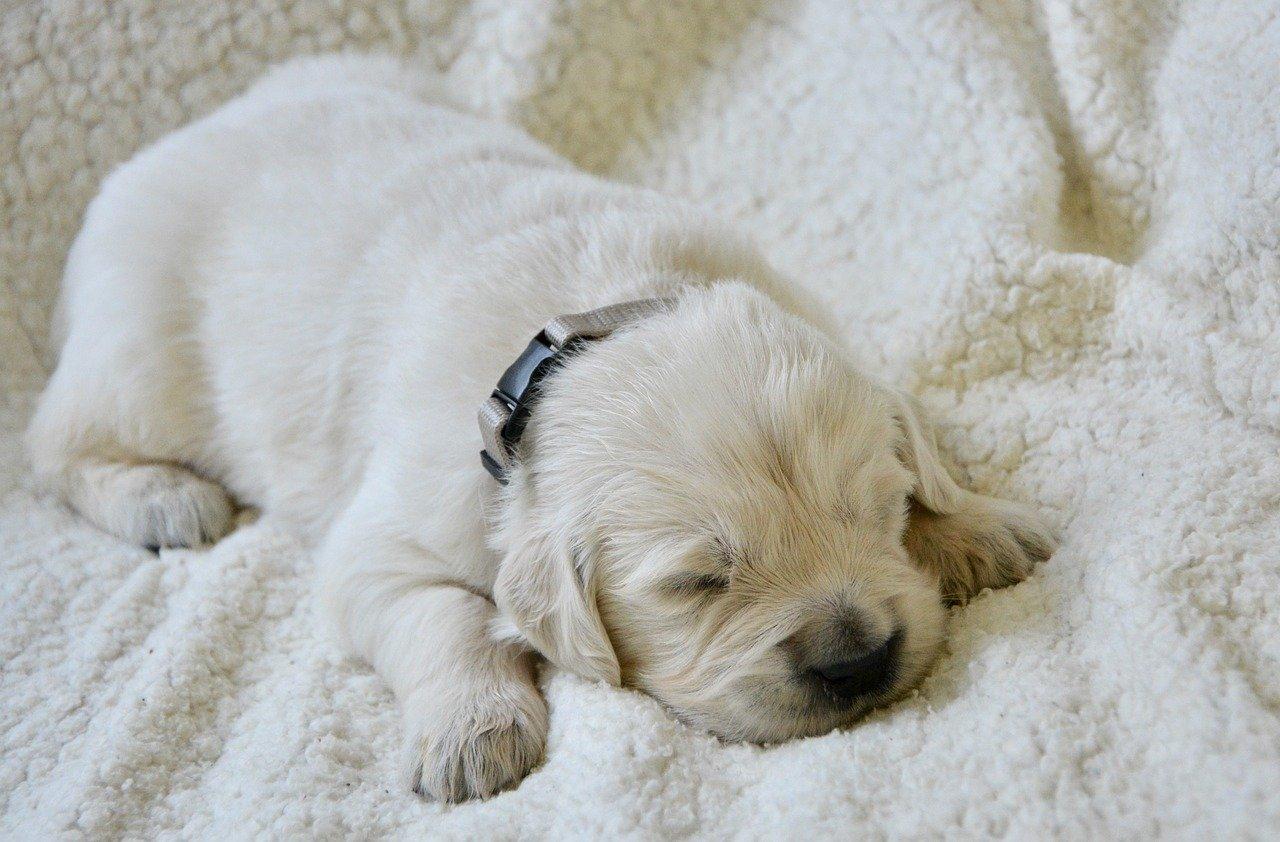cucciolo cane dorme