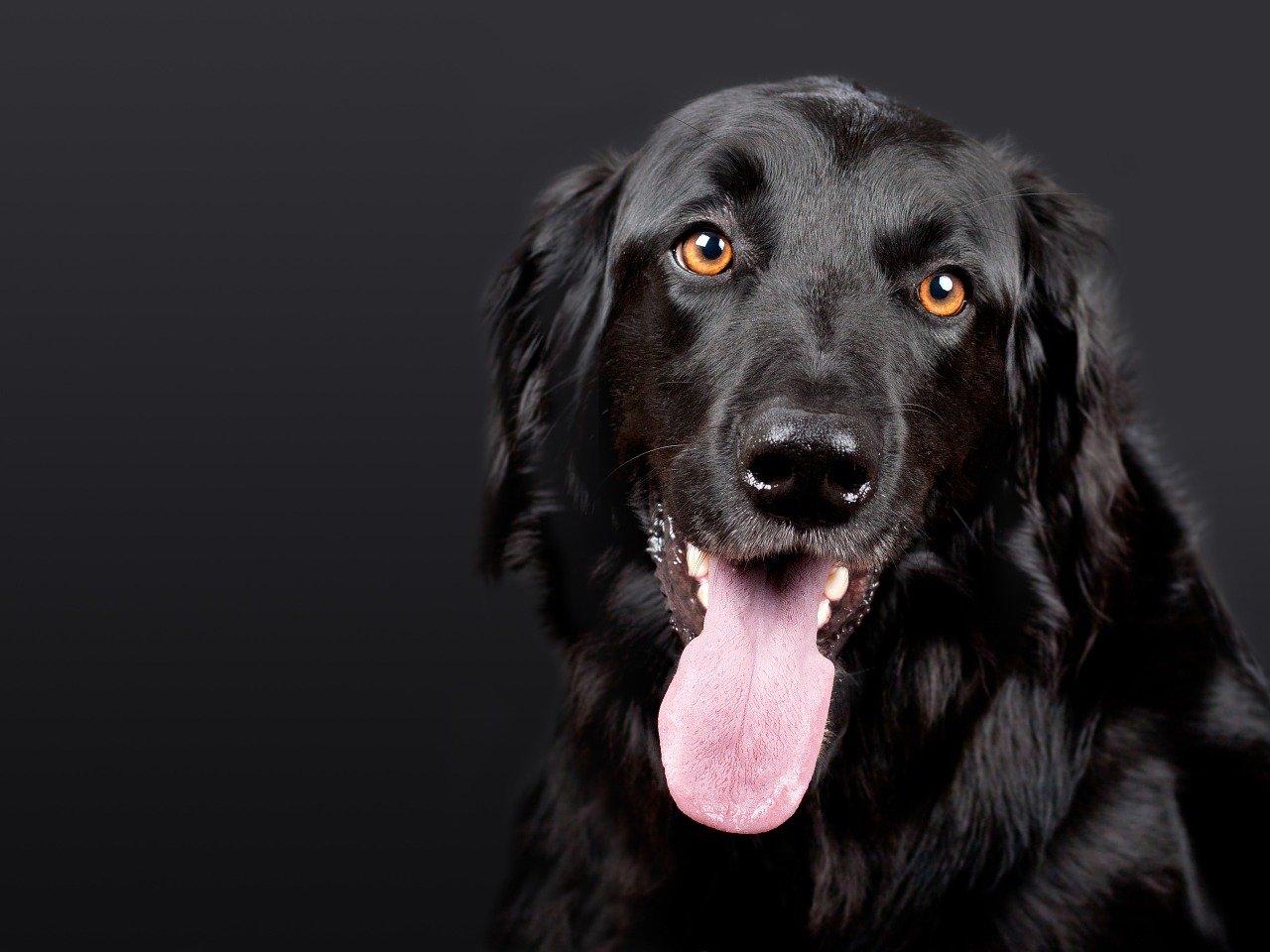 cane fa linguaccia