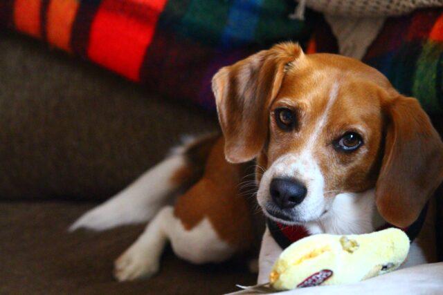 beagle con giocattolo