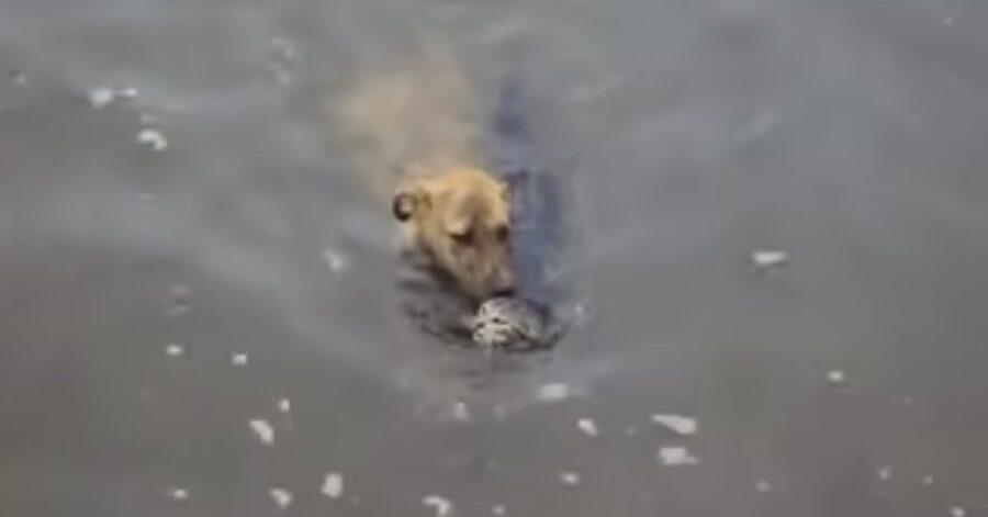 cane salva gattino che sta annegando