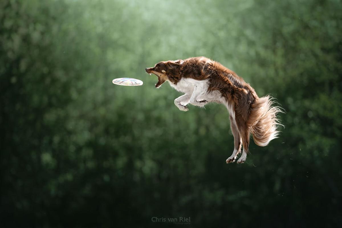 cane salta frisbee bianco