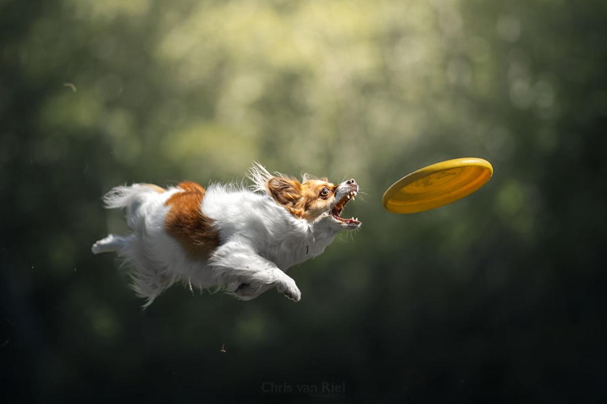 cane frisbee giallo