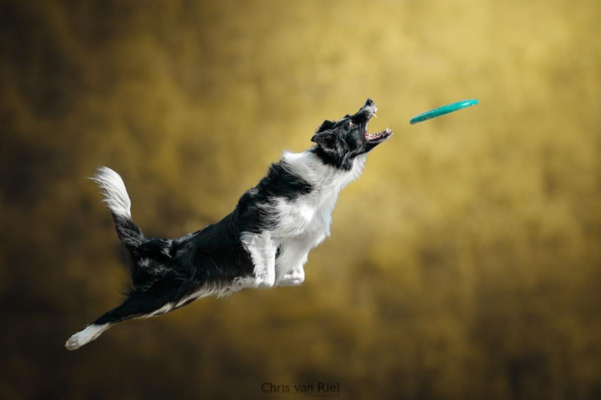 cane vola frisbee