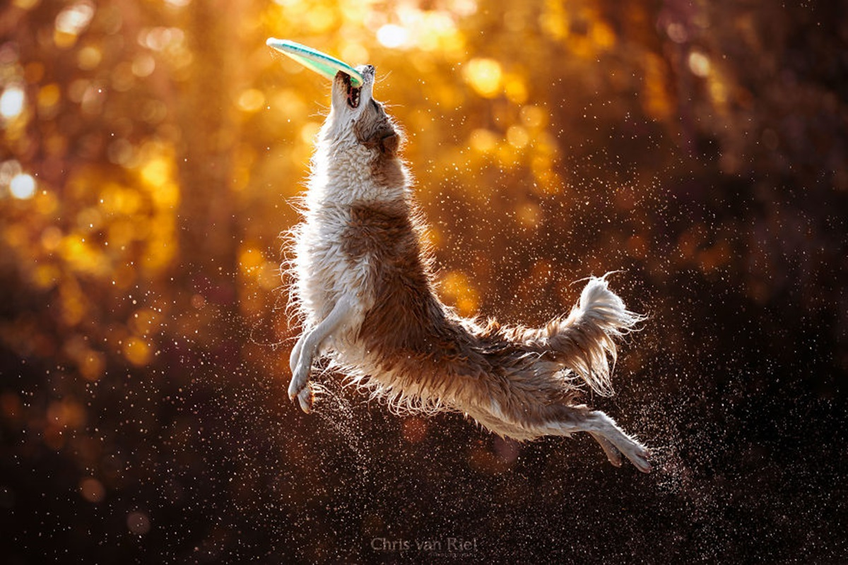 cane salta per frisbee