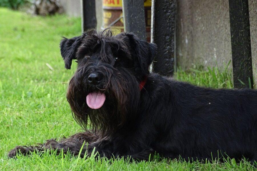 cane peloso nero