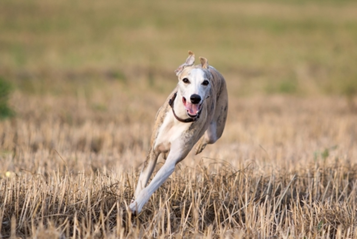 cane corre nel campo