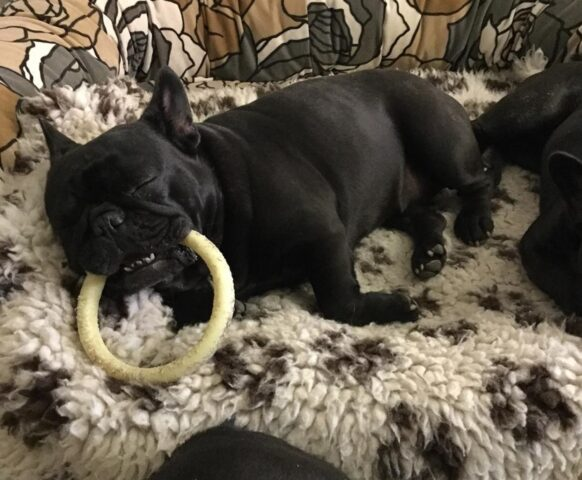 cane dorme con anello gioco