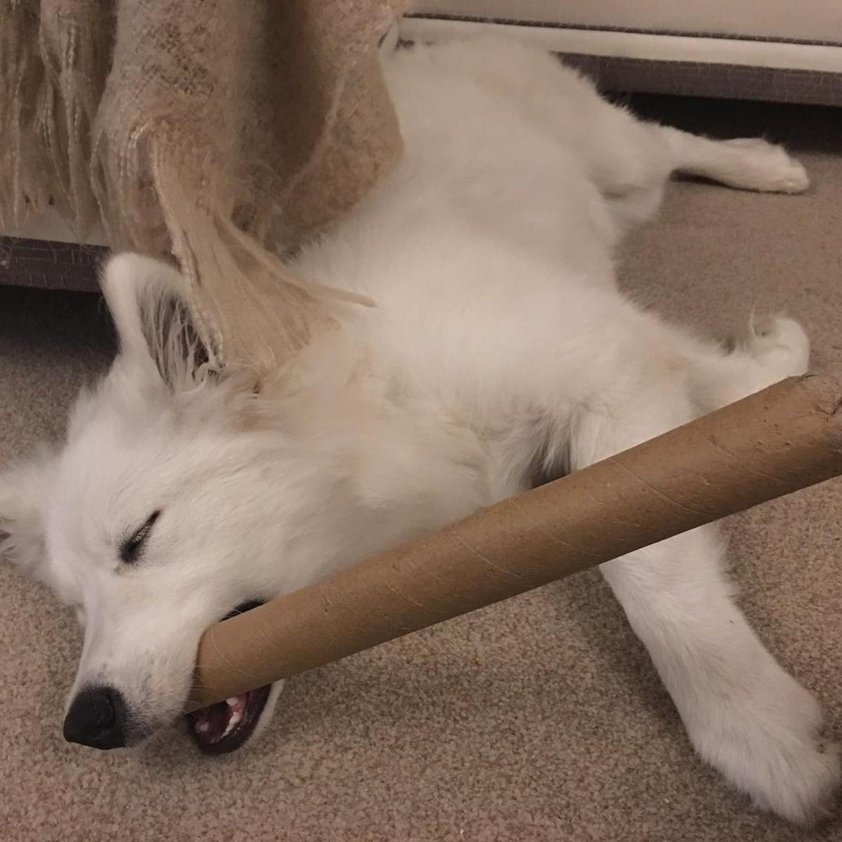cane che dorme con gioco di cartone