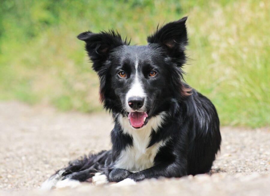 cane border collie lungo strada