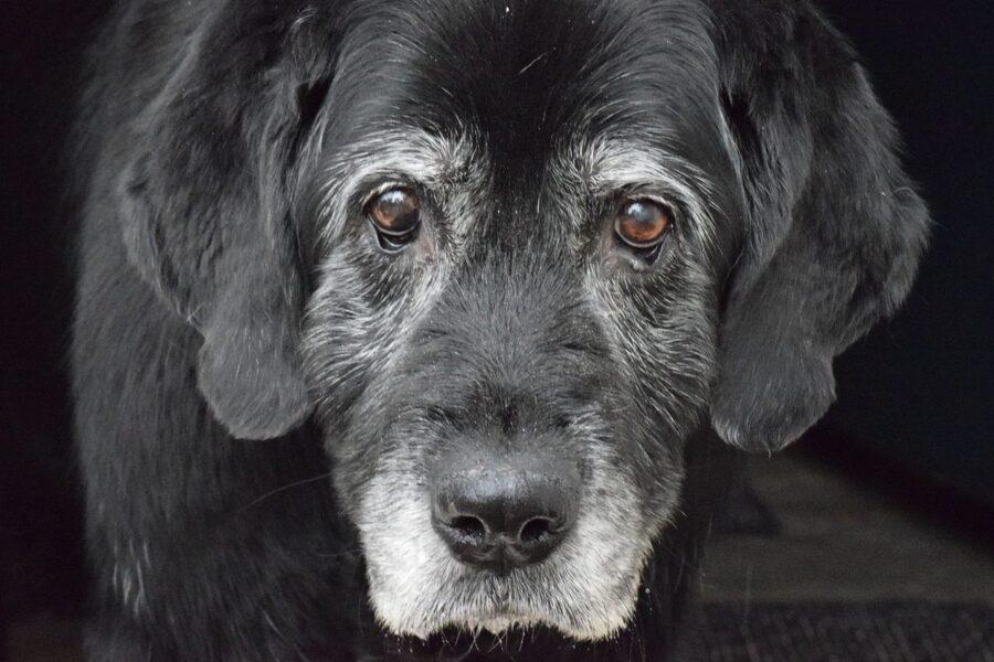 cane anziano di colore nero