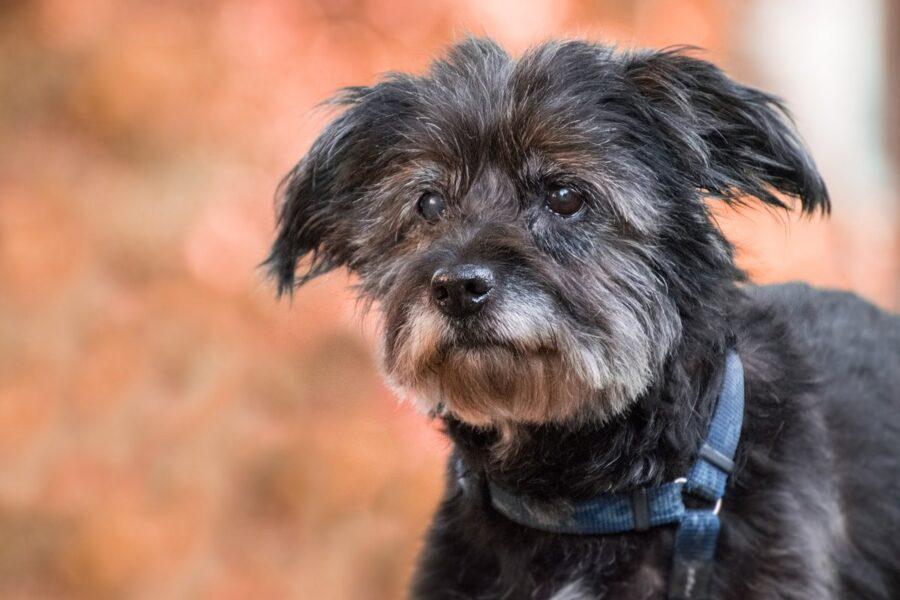 cane anziano di taglia piccola