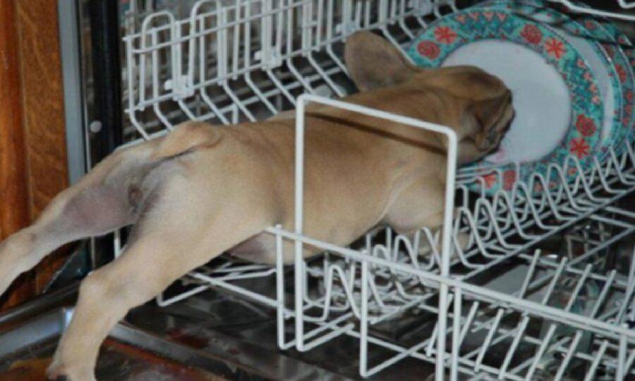 cane bull dog dentro lavastoviglie