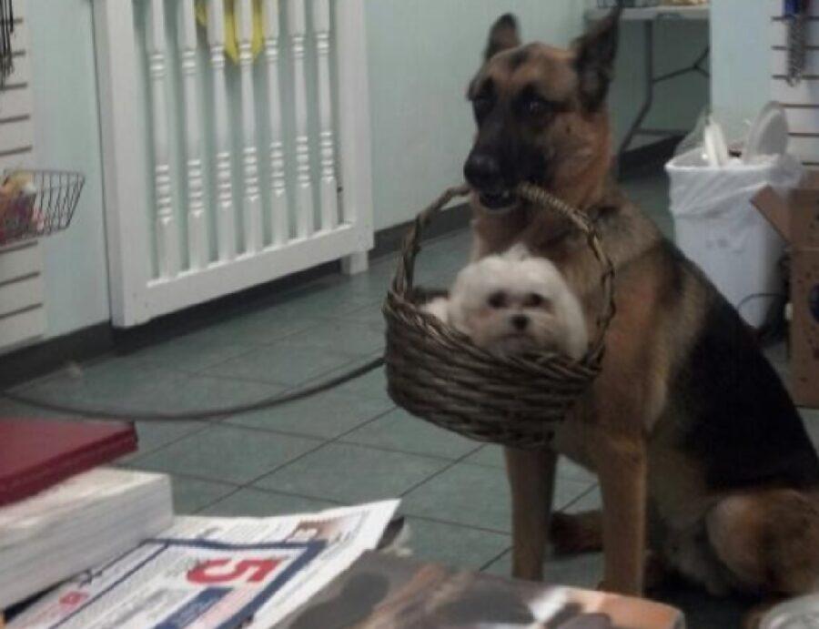 cane pastore tedesco cestello bocca