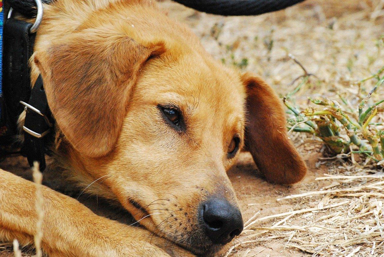 cane muso triste
