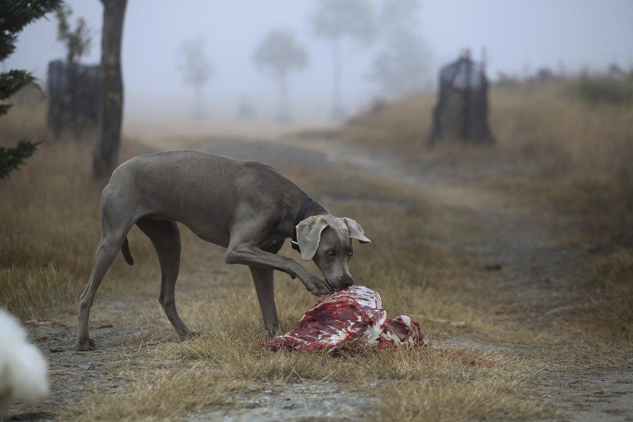 cane mangi residui di carcasse