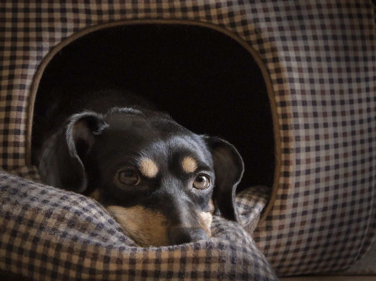 cagnolino con occhi tristi