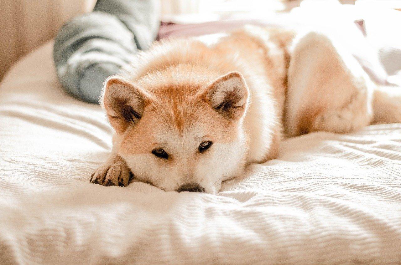 cane si riposa sul letto