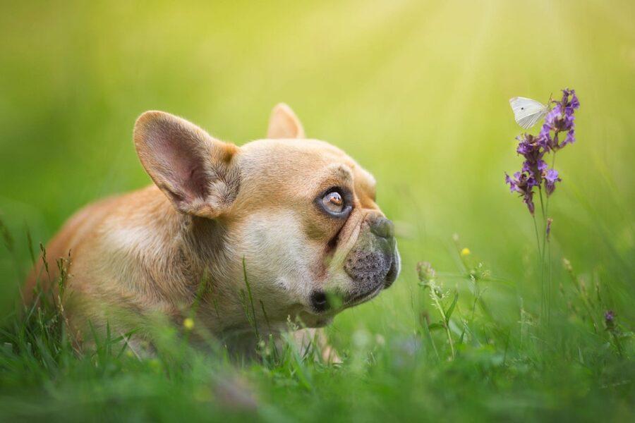 cucciolo di bulldog guarda una farfalla