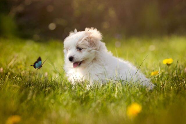 cucciolo di cane insegue le farfalle