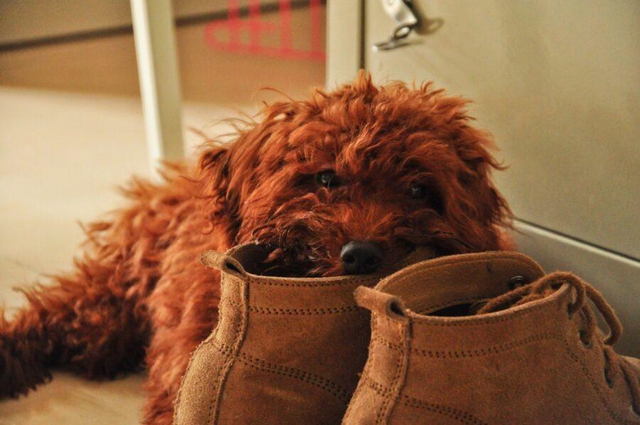 cane co muso su scarpa