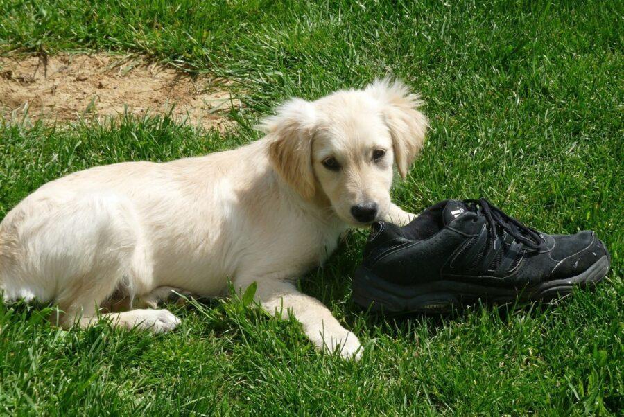 cane ruba scarpa