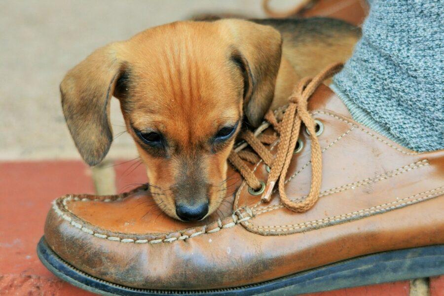 Cucciolo morde piede e scarpa