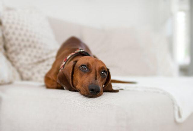 cane disteso su un letto