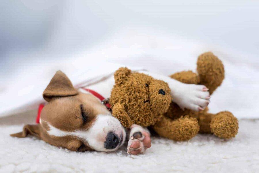 cucciolo di cane con pupazzo di peluche