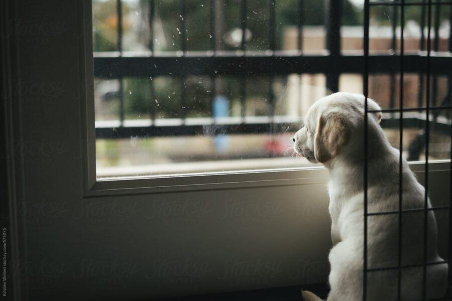 cagnolino bianco alla finestra