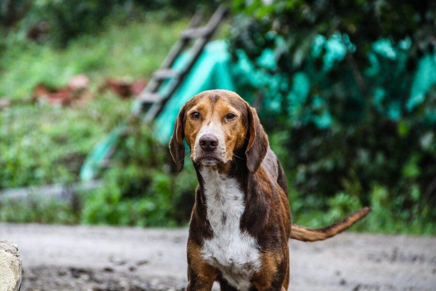 cane randagio in campagna