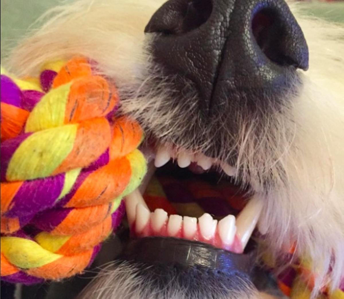 denti cane