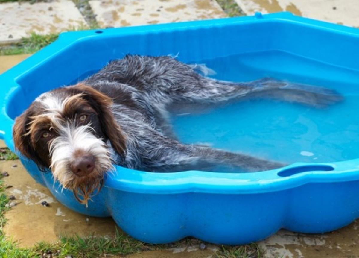 cane nella piscina